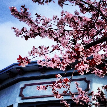 cherry blossoms against a blue roof