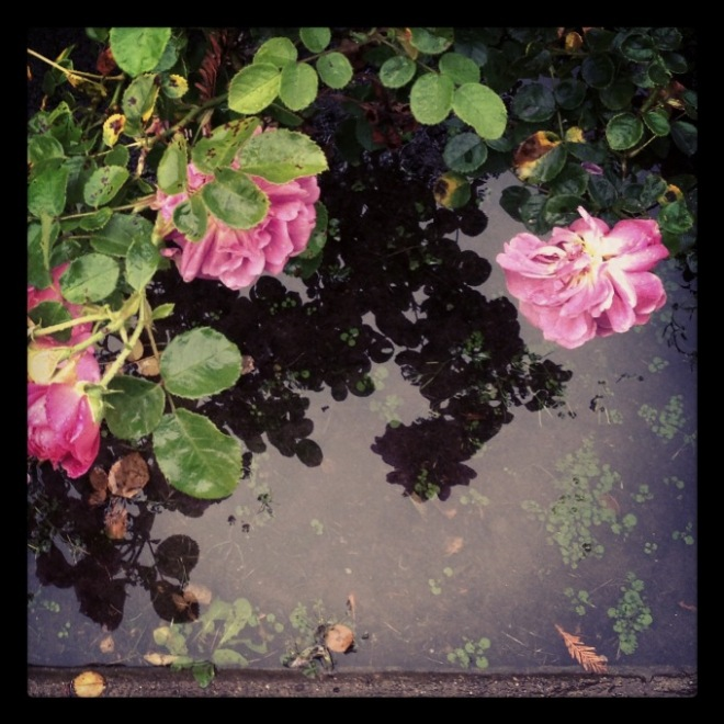 reflections.rose